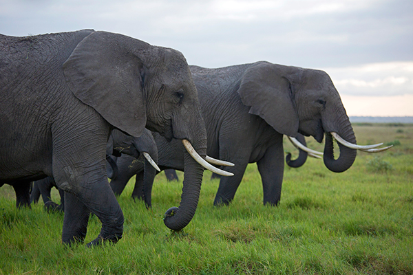 Year on year, elephant poaching is increasing to furnish growing demand in the East, notably in China. It is estimated that in 2012 anywhere between 20,000 and 40,000 elephants were killed for their ivory.  © IFAW/K. Prinsloo
