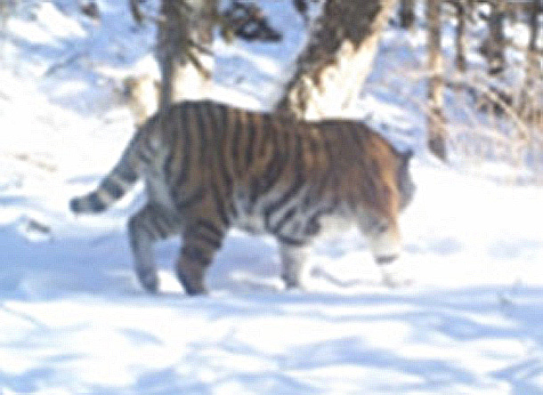 A camera trap photo of Zolushka, the orphaned Amur tigress, living in the Russian wild.