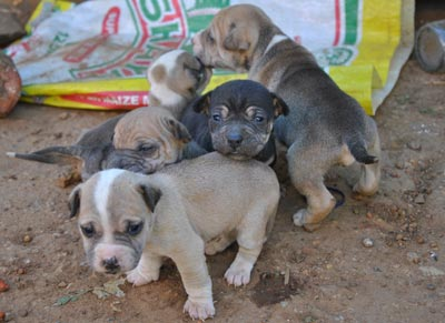 South African puppies in the Soweto district.