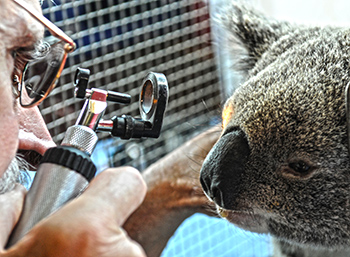 Dr Howard Ralph, IFAW vet, examines a rescued koala for injuries.