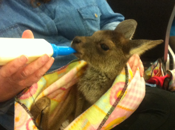A kangaroo joey being fed during the fire responder workshop break.