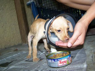 Sweet baby Chihuahua.