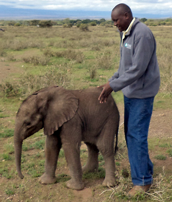 IFAW's Bernard Tulito, trying to pacify and rescue the orphaned baby elephant. Photo by IFAW-B. Tulito