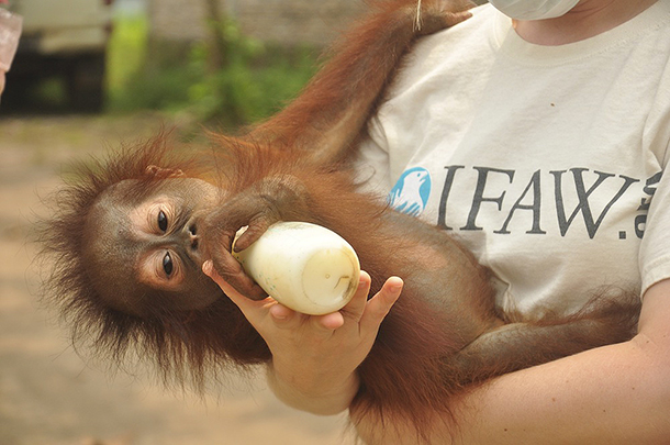 One of the recovering baby orangutan's, now under veterinary care.