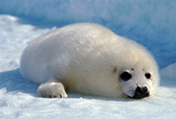 A white coat seal.