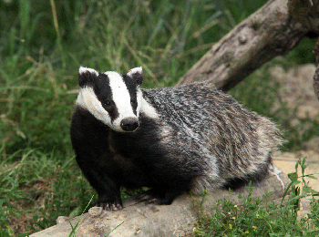 A European badger in its native environment. Badger Image via Shutterstock