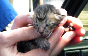 The unfortunate Balinese kitten who didn't make it.