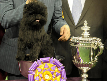 On Tuesday night, a five-year-old affenpinscher named Banana Joe won best in show during the 137th Westminster Kennel Club dog show at Madison Square Garden. Photo: cbsnews.com