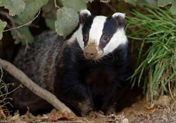 The British government was to cull 70% of the badgers in the most TB affected areas.