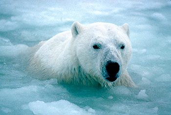 US and Russian governments failed to end the needless killing of polar bears for the international commercial trade in their parts.