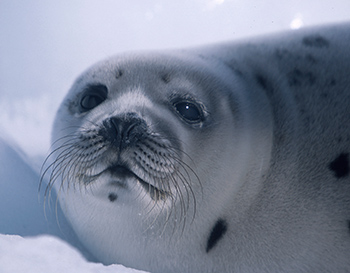 A growing number of Asian consumers are opposed to the cruel commercial slaughter of seals