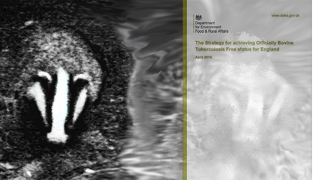 Badgers are one of the most important wild mammals in the UK and they should be protected.