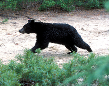 After 11 months at the Aspen Valley Wildlife Sanctuary, Ontario, an orphaned black bear is released back into the Quebec wilderness on July 7, 2004. c. IFAW