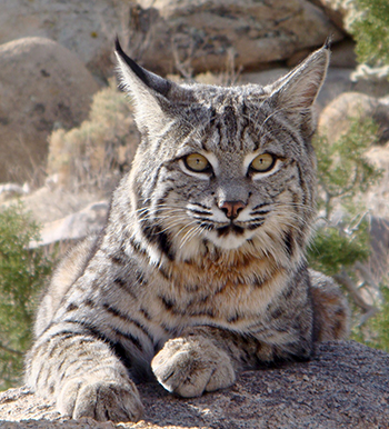 The number of bobcats being trapped and killed has doubled since 2010. Photo by Annica Kreuter