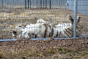 Nikita the tiger enjoying a scratch in her new home.