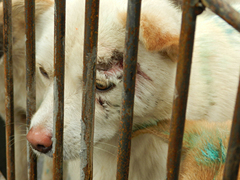 Stealing dogs for the dog meat trade has become an organized crime.