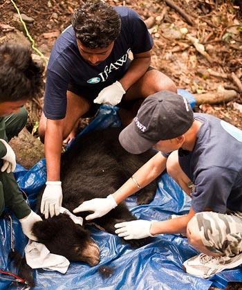 IFAW-WTI veterinarian Dr. Abhijit Bhawal places a radio collar on a sedated Asiatic black bear in India. © IFAW-WTI. S.Barbaruah