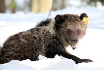 Three yearling brown bears were satellite collared for post-release monitoring in Bubonisty, Russia. The International Fund for Animal Welfare's (IFAW) Orphan Bear Rescue Center in Russia hand-raises orphaned bears through their dependent stages and then releases them for a life in the wild.