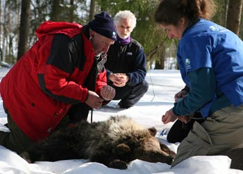 Dr Ian Robinson, left IFAW veterinarian and Kati Loeffler, right, veterinary advisor, monitor a bear during the collaring.