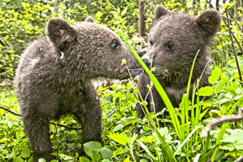 Two of the rescued Russian bear cubs featured in the National Geographic Russia article.