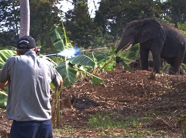 A member of the IFAW capture team was able to tranquilize and place a satellite collar on one of the elephants. This means that it's now easier to locate that individual and two other elephants in his group. c. IFAW