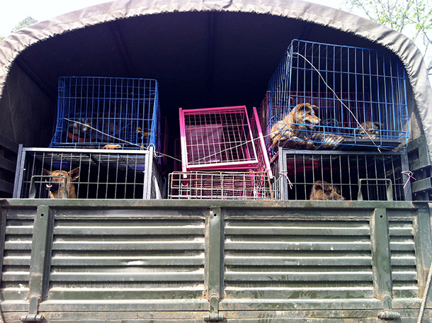 Animal welfare supporters rescued these Chinese dogs bound for slaughter. c. IFAW