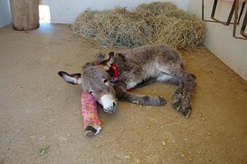 One of the donkeys resting.