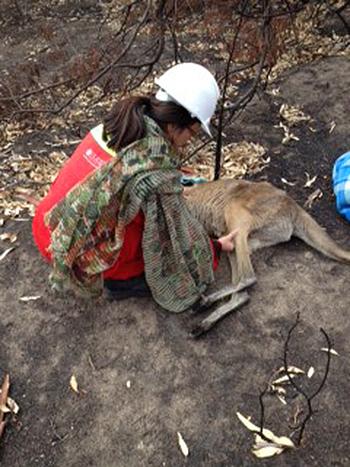 Dr Elaine Ong attending to an injured kangaroo.