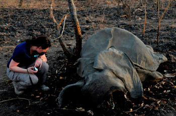 International Fund for Animal Welfare Director France and Francophone Africa, Céline Sissler-Bienvenu with the body of an elephant slaughtered for its ivory in Cameroon in recent weeks.