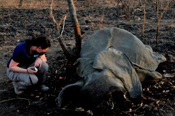 Die Leiterin des IFAW-Länderbüros Frankreich Céline Sissler-Bienvenu in Kamerun neben einem der 300 vor kurzem getöteten Elefanten.