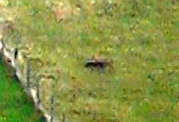 Fox running through a field at 14:56 on the day of the offence, after having being bolted by the Seavington hounds nearby