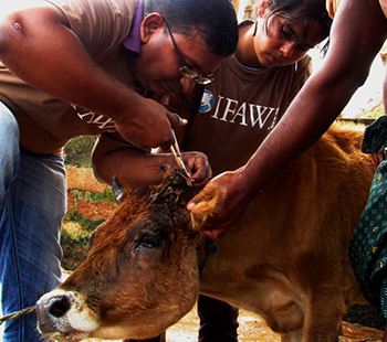 IFAW-WTI vets work on an injured horn.