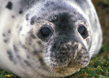The Canadian Senate may recommend a massive cull of grey seals.