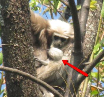 Gibbons in India verwelkomen een nieuwe baby in hun familie