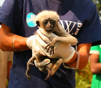 IFAW-WTI veterinarians check over each gibbon during the move. c. IFAW-WTI