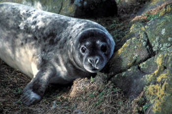 Canadian politicians and fishermen are calling for a cull of seals.