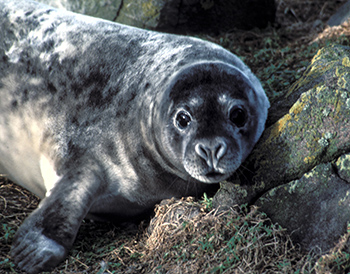 A grey seal resting on shore.