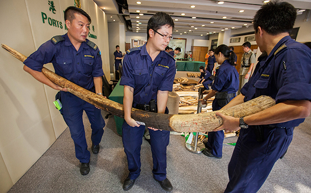 Hong Kong customs officers carry a large confiscated ivory tusk as part of an illegal shipment of illegal ivory from Ivory Coast in Africa at the Hong Kong Customs & Excise Department Ports and Maritime Command Centre, Kwai Chung, Kowloon, Hong Kong, 03 October 2013. c. IFAW