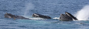 Humpbacks working together to bubble net prey.