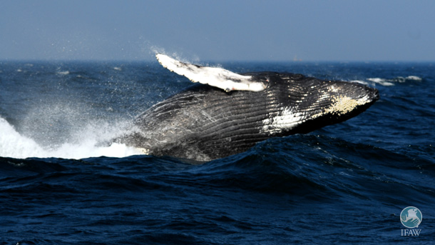 Humpback whales will rest easier without massive seismic arigun testing to disrupt their lives in their ocean habitat.