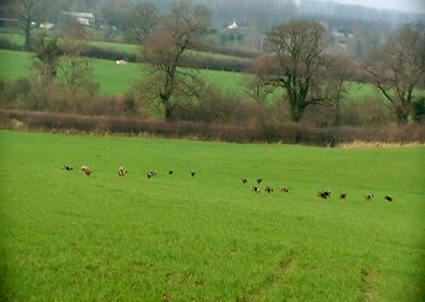 Pack of beagles 'on line' following some scent during a hare hunt.