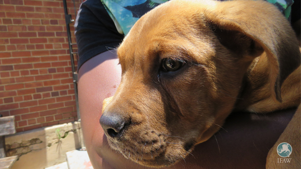 Bij CLAW zien we veel gevallen waarin mensen thuis de staart van hun hond hebben gecoupeerd. Hoewel in Zuid-Afrika bij wet verboden, wordt deze praktijk bij een aantal rassen nog regelmatig toegepast om het uiterlijk aan te passen aan het heersende schoonheidsideaal.