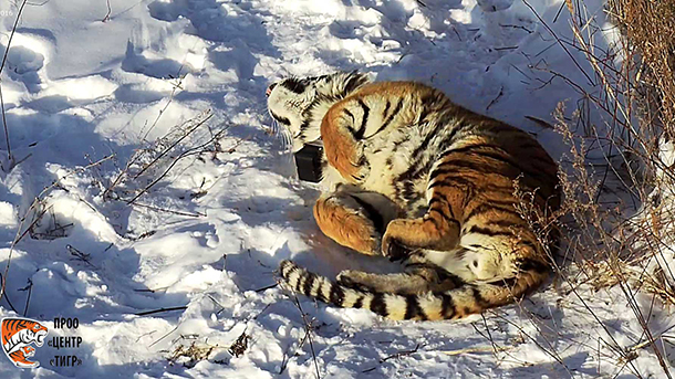 Vladik (pictured) has shown an interest in fellow PRNCO Tiger Center resident Filippa. PHOTO: © PRNCO Tiger Center