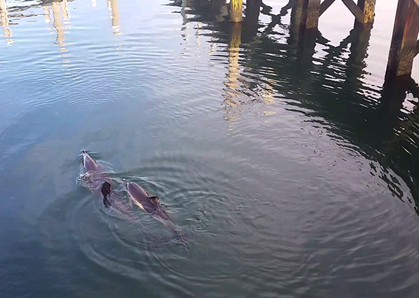 The dolphins were seen in shallow water, swimming inside the yacht club piers, with the likelihood of potentially stranding again very high.