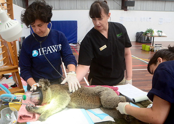 Valeria Ruoppolo (IFAW), Fiona Ryan (Melbourne Zoo) and Nicola Rae (Lort Smith Animal Hospital) monitor a koala under anesthesia.