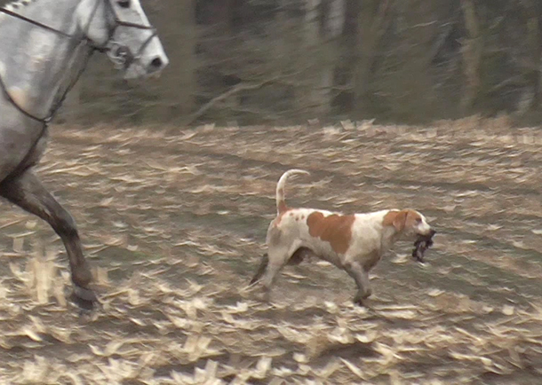 A hound from a drag hunt with the 'drag' in its mouth after the pack successfully tracked its scent.