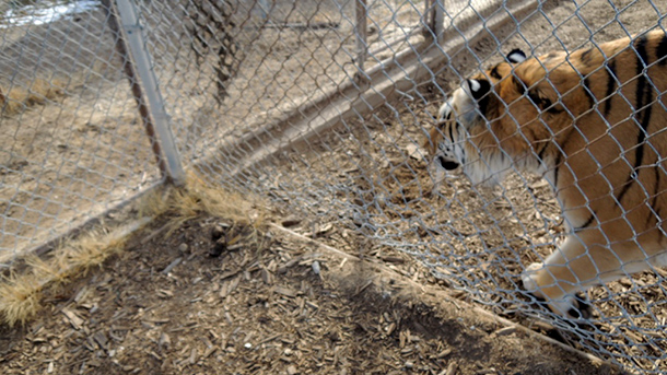 A photo of poor fencing around tigers enclosures at a facility, Turpentine Creek Wildlife Refuge and Tigers in America had the opportunity to rescue cats from.