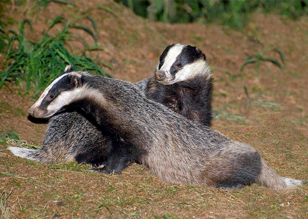 eurobadger to address badger abuse throughout europe ifaw