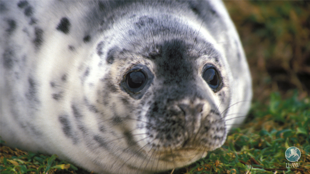 Canadian media reported that sealers have been openly and illegally poaching grey seals on Brion Island for at least three years without repercussion.