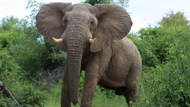 With Federal ivory trade restrictions in danger of being rolled back, state ivory bans become crucial in the push to protect elephants from poaching. PHOTO: © Vanessa Mignon